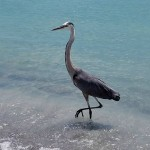 Blue Herring are abundant on the southern end of Siesta Key and love to pose for pictures