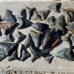 Large fossilized Megalodon shark teeth and various fossilized bones found scuba diving off Venice, FL