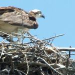 You'll see quite a few Ospreys fishing in the mornings. Notice the chick (nestling) poking its head up on the left.