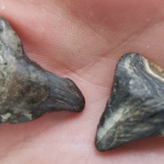 At the southern tip of Siesta Key you will occasionally find fossilized shark teeth. However, if you're interested, I can tell you where you can go to pick up a palm full in a short walk.