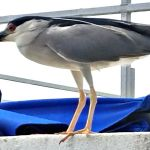 Male Black Crowned Night Heron